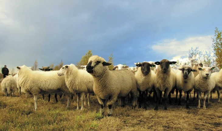 This Flock Of Sheep Is Very Real, Even Though It Looks Like A Hallucination. 1